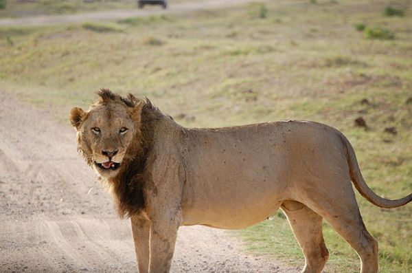 Tsavo_lion