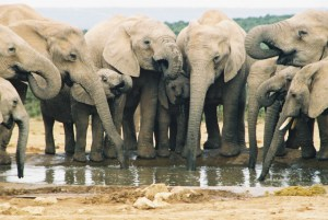 langage-elephants-drinking-at-waterhole-in-Addo-Park-Eastern-Cape-South-Africa-WL