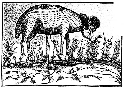 L'agneau de Scythie, fac-similé d'une gravure du livre des Plantes émerveillables, de Cl. Duret, 1605