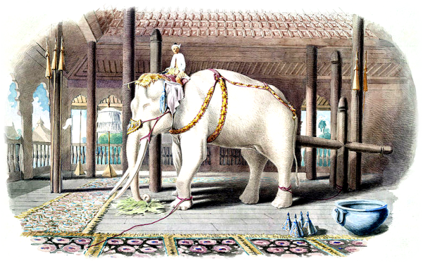 elephant-blanc
