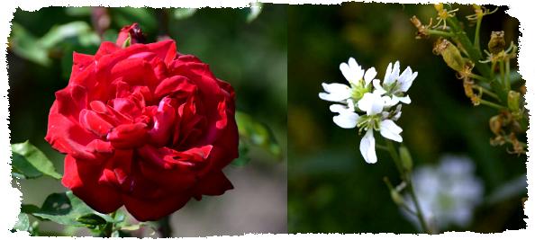 rose-reseda