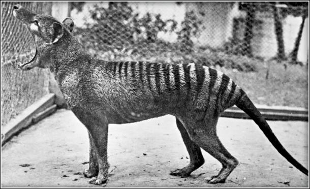 tigre de Tasmanie