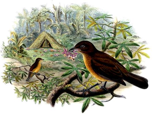oiseau jardinier